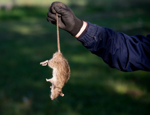 Could a Dead Rodent Be In The Ductwork?
